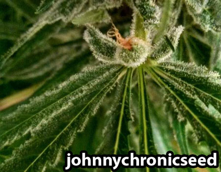 Cannabis flower growing from a leaf in an unusual place - this one is absolutely covered in glittery trichomes