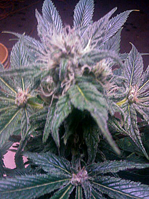 This cannabis plant was covered in buds, but then the buds started growing right ouf the leaves, too