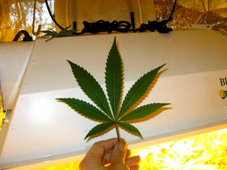 Cannabis leaf with 7 fingers or points - most common type of leaf on adult plants