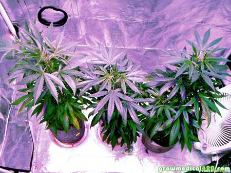 What the cannabis plants look like to the human eye under LED grow lights