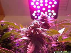White Widow colas mature beautifully under the Pro-Grow X5 LED lamp