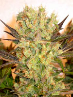 Motavation strain produces top-quality buds - easy to grow, quick to harvest