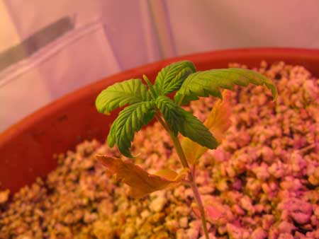 Example of a marijuana seedling with root problems that are the result of a bad growing medium