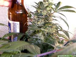 Growing thick colas has never been easier.