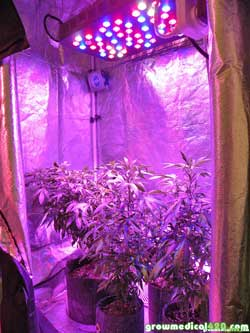 LED grow lights raised to maximum height because they were overbright