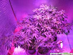 The cannabis plants were getting crowded in the tent under the LED grow light