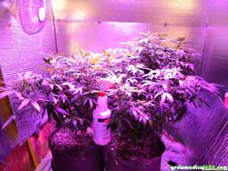 Week 4 - cannabis plants growing under LED grow light