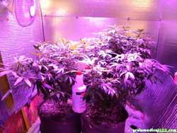 Week 4 - cannabis plants growing under LED grow light
