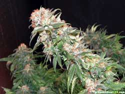 White Widow cola at harvest - this was about the median size of the White Widow colas