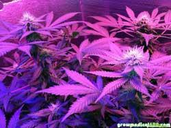 Week 3 bloom under the Pro-Grow X5, White Widow is looking good!