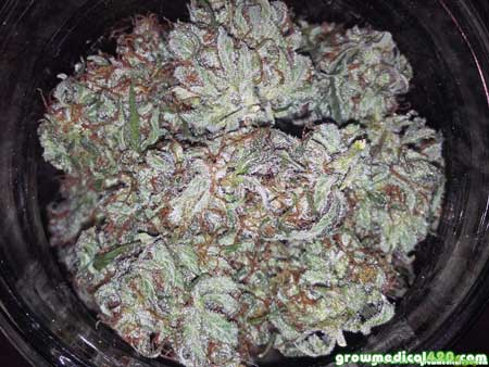 LED-grown White Widow buds in a jar