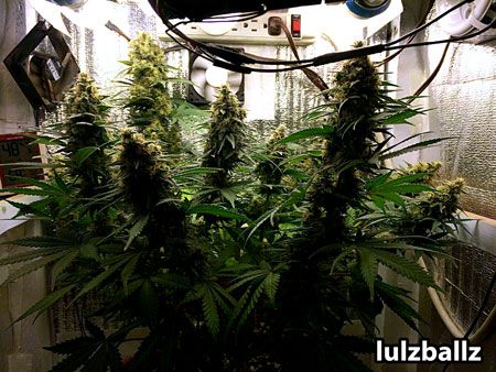 Blue Cheese cannabis plants can produce great yields