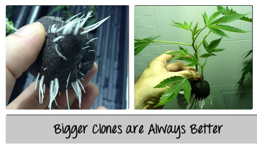 Bigger clones are always better - click picture for closeup!