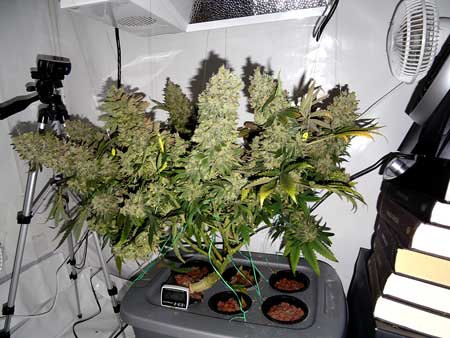 A photoperiod cannabis plant grown in a hydroponic DWC setup - click here to see the full grow journal!