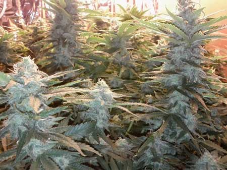 The colas of the four Papaya cannabis plants are fattening up every day