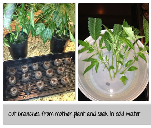 Cut branches from the mother plant and soak in cold water - click picture for closeup!