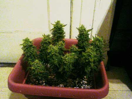 Mini cannabis plant just before harvest