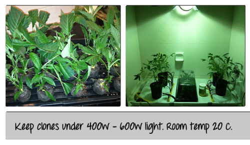 Keep clones under 400W - 600W light. Room temp 20 C. Click picture for closeup!