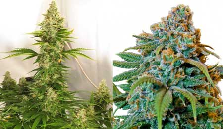 Example of Liberty Haze plants
