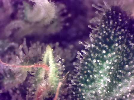 Another view of the trichomes