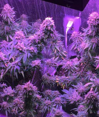 Example of a marijuana flowering harvest - plants were grown under 600W ViparSpectra LED grow light