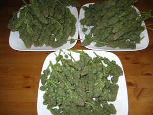 Aurora Indica buds - harvest from one plant