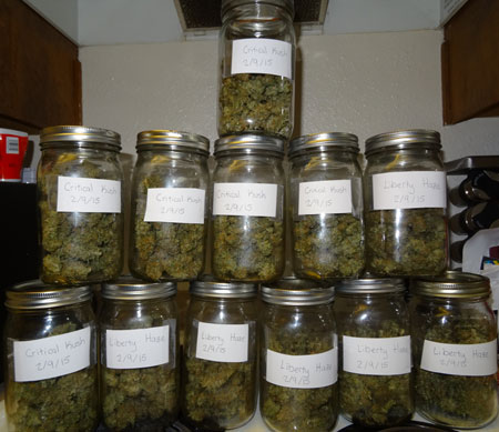 Cannabis buds curing in quart-sized glass mason jars