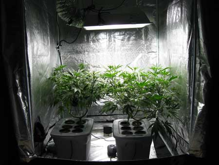 A cannabis grow tent will provide the best reflectivity of all the reflection options