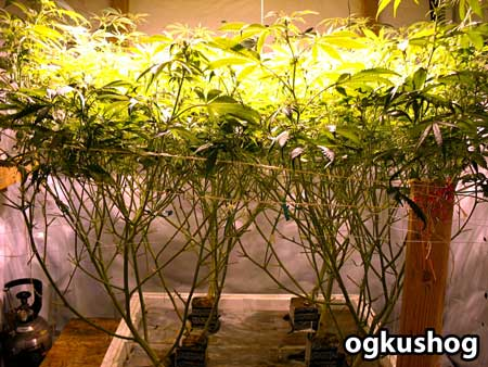 Plants are grown in Rockwool slabs, then trained under the ScrOG net
