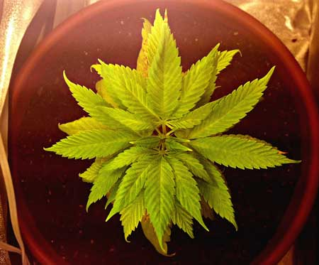 A young cannabis plant suffering due to a fungus gnat infestation