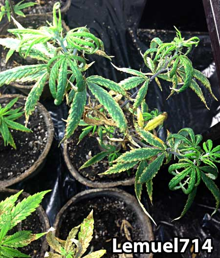 Cannabis damage caused by overwatering and fungus gnats in the soil