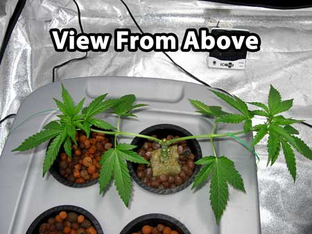 Same cannabis plant, but viewed from above