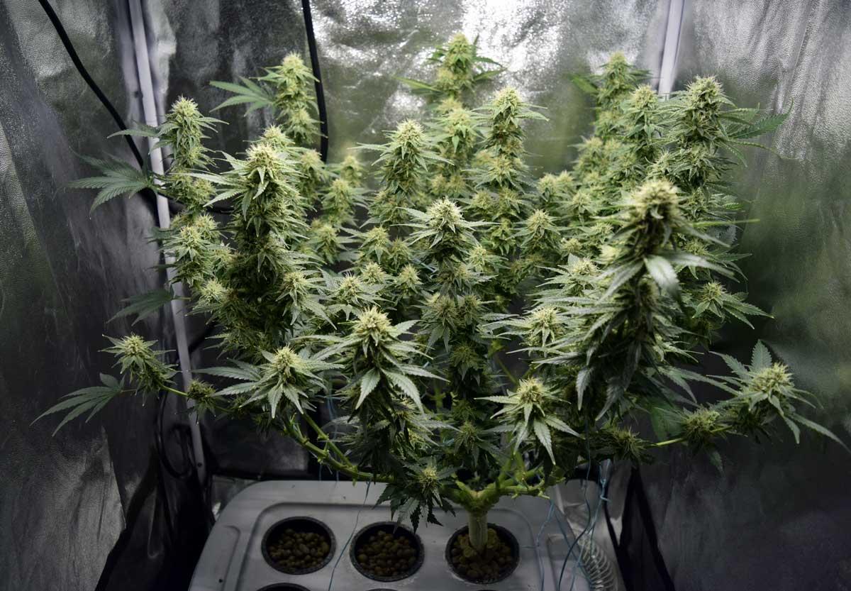 Периоды цветения марихуаны як на організм впливає конопля