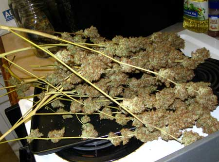 Cannabis buds on a stove - immediately after harvest - the marijuana manifold tutorial powered the size of these monsters!