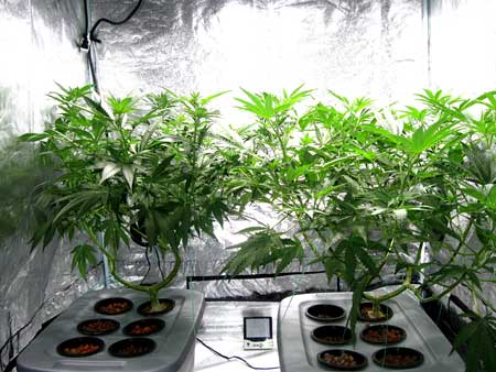 Two main-lined cannabis plants showing off their manifold