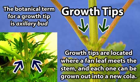 Growth tips (known officially as axillary buds) are where new stems are forms, each growth tip can be grown into a cola of its own!