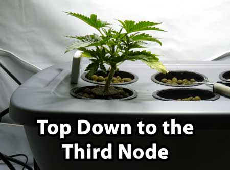 How to top to 3rd node of a marijuana plant - this is the next step to main-lining cannabis to build a manifold