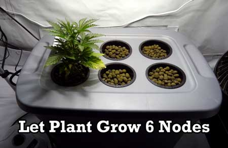 Wait until a marijuana plant has grown 5-6 nodes (pairs of leaves) before you begin the manifold process
