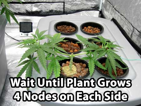 There are now 4 nodes (pairs of leaves) on each side of the cannabis manifold