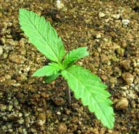 Happy, healthy young cannabis seedling