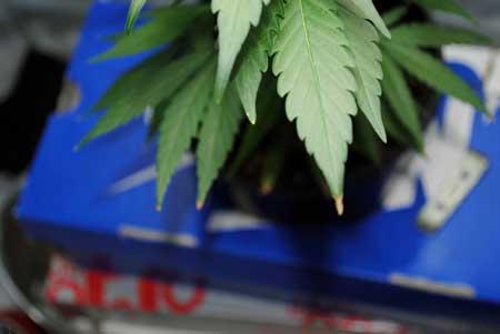 Beginning of cannabis nutrient tip burn