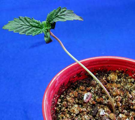 Seedling is stretching from lack of light - it needs brighter light!