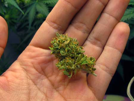 These buds are fluffy and airy - not dense at all. This tutorial will show you how to make your cannabis buds grow compact and dense every time!