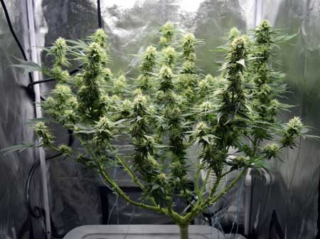 Example of a cannabis plant that was manifolded early in the vegetative stage - side view so you can clearly see the manifold