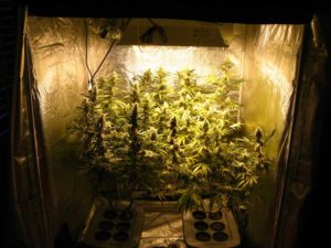 Cannabis plants flowering in a grow tent under the harsh yellow light of an HPS