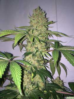 The most dense and weighty cannabis buds are the ones that get space to themselves to develop