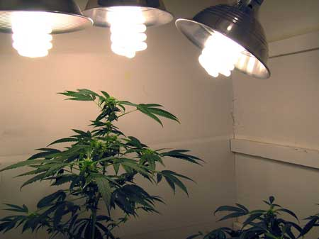 Make sure to keep CFLs as close to plants as possible, otherwise the cannabis buds will never fatten up