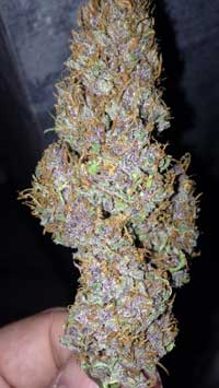 A purple-tinted, dense marijuana bud - this bud was given plenty of light and came from a strain that tends to grow densely