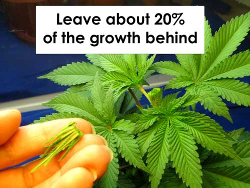 Cannabis FIM example