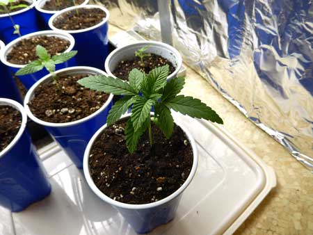 Start cannabis seedlings in solo cups for the fastest start!